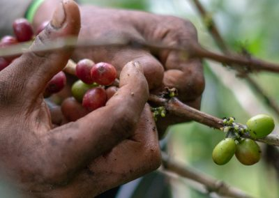 Coffee fruit can start fermenting before it's picked.