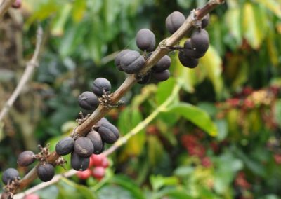 Coffee can ferment as it is still on the tree.